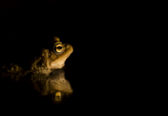 water, animals, frog, amphibian, reflection wallpaper