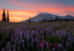 mount rainier, washington, sunlight, nature, sky, flowers, mountains wallpaper