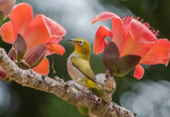 bird, tropics, branch, flowers, cotton tree, animals, nature wallpaper