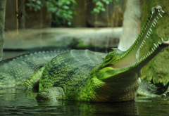 fish-eating crocodile, gavial, gharial, crocodile, predator, animals, mouth wallpaper