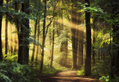 nature, forest, trees, path, sun rays wallpaper