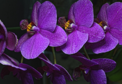 orchid, flowers, drops, water drops, nature wallpaper