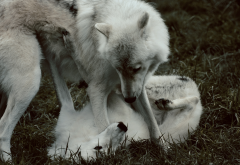 wolf, animals, couple wolf wallpaper
