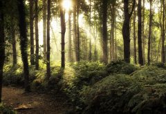 nature, forest, sunlight, tree, sun light wallpaper