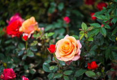nature, bushes, flowers, roses, summer, drops, nature wallpaper