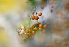nature, macro, branch, leaves, berries, butterfly wallpaper