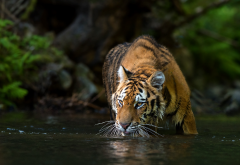 animals, tiger, river, water wallpaper