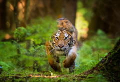 animals, tiger, splash, tunning tiger, wild cat, super photo wallpaper