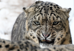 snow leopard, wild cat, predator, animals, snow, winter, grin wallpaper