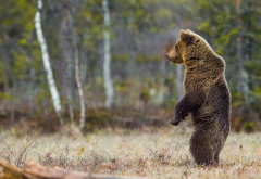 brown bear, animals, predator, bear, pose, nature, forest wallpaper
