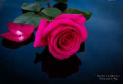 rose, flowers, petals, nature wallpaper
