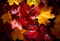 autumn, leaves, water drops, maple leaf, nature wallpaper