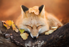 fox, autumn, leaf, animals wallpaper