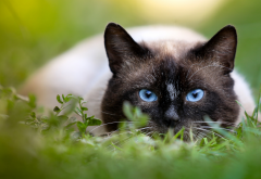 animals, cat, grass, siamese cat wallpaper