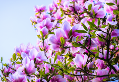magnolia, bushes, flowers, pink, petals, leaves, nature wallpaper
