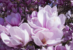 magnolia, flowers, pink, petals, nature wallpaper