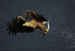 eagle, bird, predator, water, drops, fish, sea, animals wallpaper