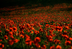 poppies, field, red flowers, flowers, nature, poppy wallpaper