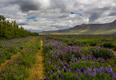 iceland, landscape, field, lupine, hill, nature wallpaper