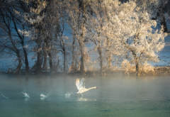 nature, river, tree, hoarfrost, winter, bird, swan, frost wallpaper