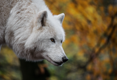 animals, predator, wolf, gray wolf wallpaper