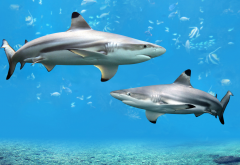 shark, underwater, animals wallpaper
