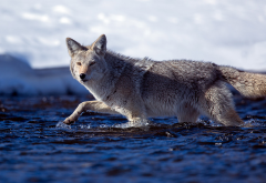 coyote, winter, river, cold, water, animals wallpaper