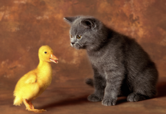 cat, animals, duck, duckling, kitten, bird, scottish fold wallpaper