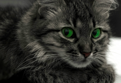 cat, animals, green eyes wallpaper
