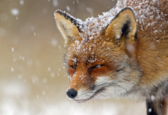 fox, predator, snow, winter, animals wallpaper