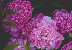 peonies, macro, flowers, petals, nature wallpaper