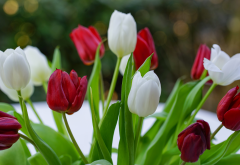 tulips, red tulips, white tulips, bouquet, snow, spring, flowers wallpaper