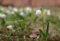 spring, bokeh, macro, flowers, snowdrops, nature wallpaper