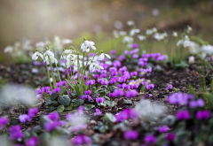 snowdrops, spring, cyclamen, nature, flowers wallpaper