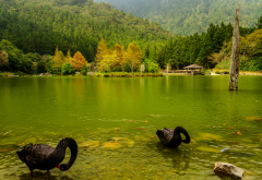 japan, nature, landscape, autumn, river, forest, birds, swan, black swan wallpaper
