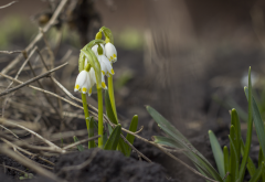 snowdrops, spring, bokeh, spring, nature wallpaper