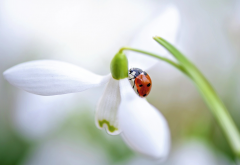 macro, nature, spring, flowers, snowdrop, ladybug wallpaper