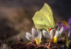 nature, spring, flowers, crocuses, butterfly, macro wallpaper