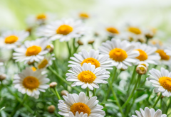 nature, summer, flowers, daisies, macro wallpaper