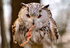owl, birds, animals wallpaper
