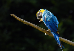 parrot, macaw, branch, bird, animals wallpaper