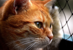 red cat, cat, animals wallpaper