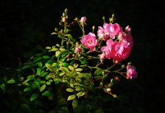 branch, leaves, flowers, roses, buds, nature wallpaper