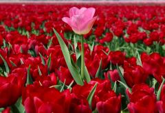 nature, spring, bloom, flowers, tulips wallpaper