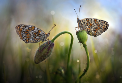 nature, macro, grass, flower, bud, butterfly, couple, bokeh, insects, animals wallpaper