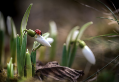nature, macro, spring, primroses, flowers, snowdrops, ladybug, insects, animals wallpaper