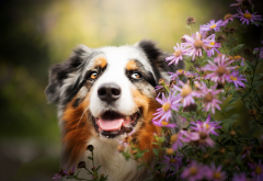 australian shepherd, aussie, animals, dog, bush, bloom, flowers wallpaper