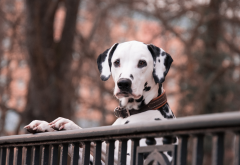 animals, dog, dalmatian, fence wallpaper