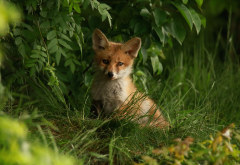 animals, fox kitten, cub, grass, fox wallpaper