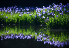 irises, spring, water, nature, reflection wallpaper